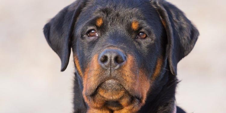 Caseiro pode ter sido atacado por rottweilers